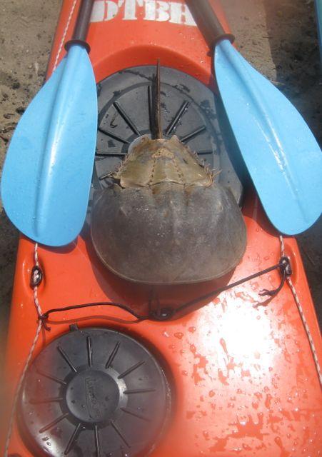 Horseshoe Shell.