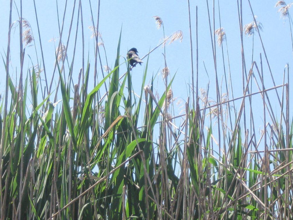 Bird in Marsh. May 2013.