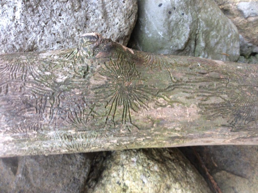 Fossil or Scrimshaw?